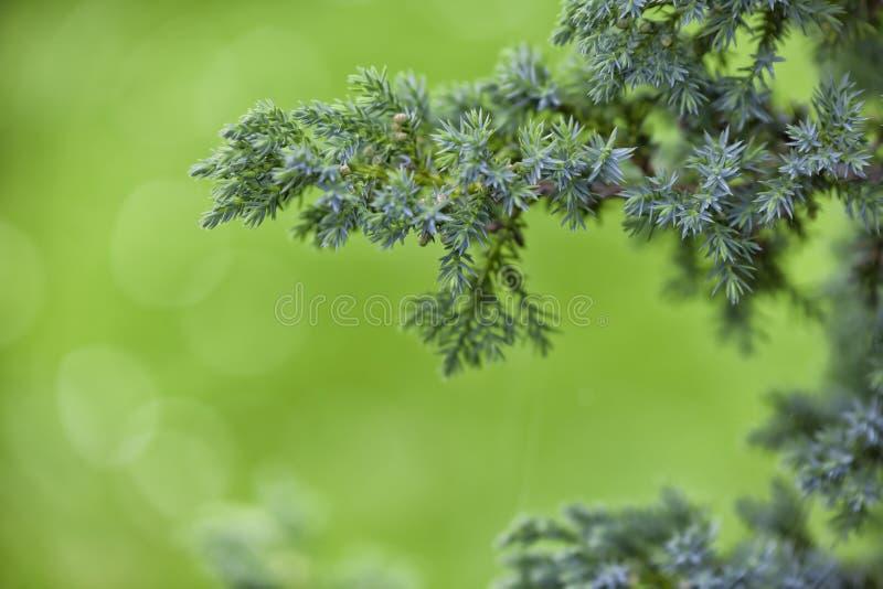 蓝色杉木 库存图片