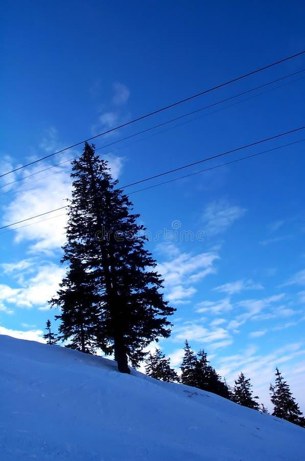 蓝色杉树 库存照片
