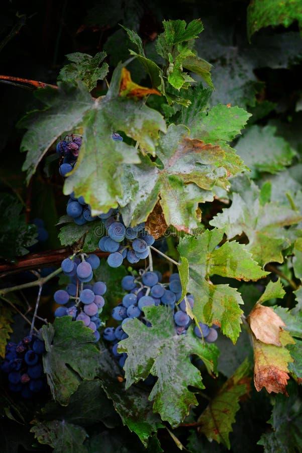 蓝色束葡萄 收获新鲜的夏天果子 点心果子甜点 在黑暗的背景的葡萄树在雨以后 库存图片