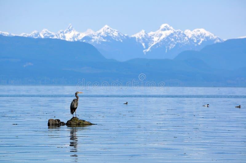 蓝色极大的苍鹭岩石 免版税图库摄影