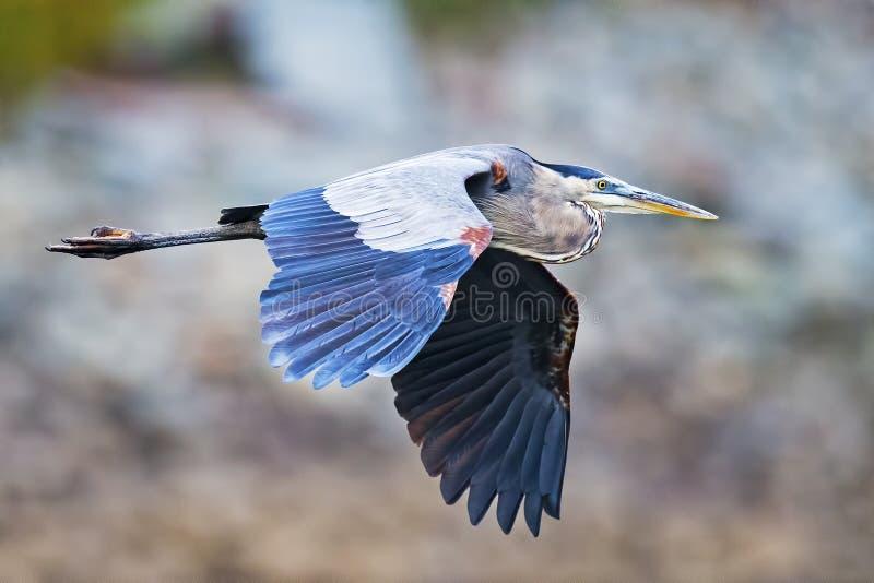 蓝色极大的苍鹭 免版税库存图片