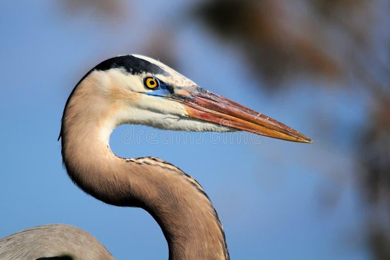 蓝色极大苍鹭摆在 免版税库存图片