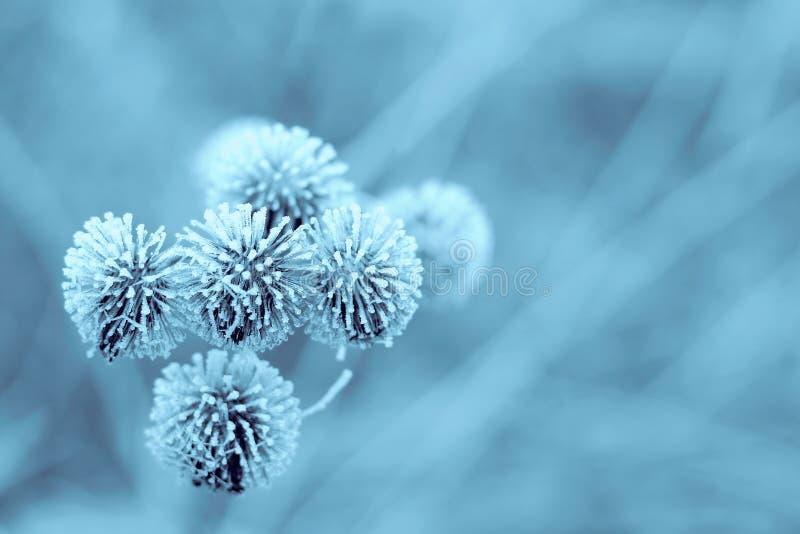 蓝色植物名冬天 免版税库存照片