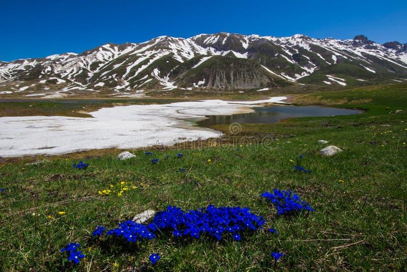 蓝色植物开花在园地Imperatore在阿布鲁佐 库存图片