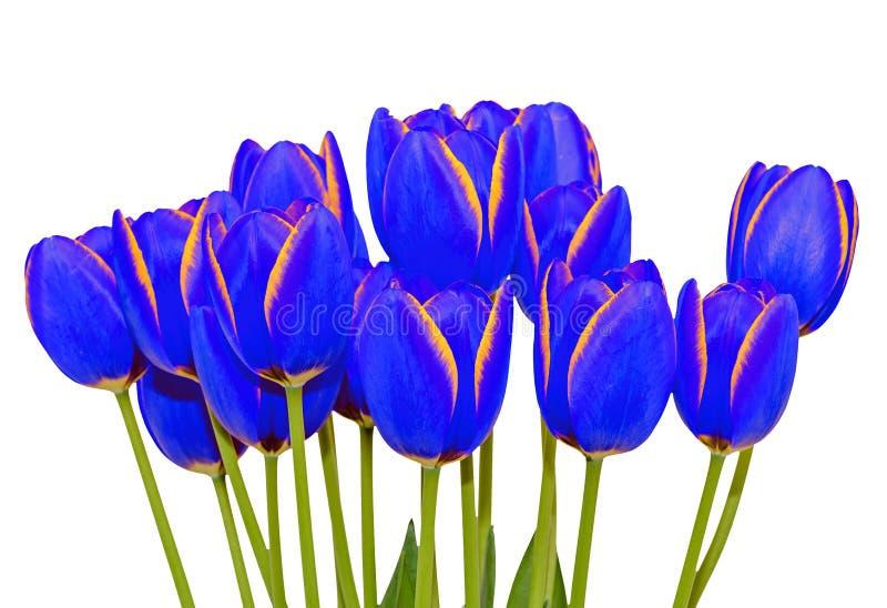 蓝色橙色郁金香花关闭与黄色边际,关闭 免版税图库摄影