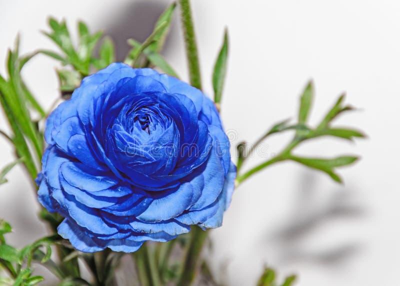蓝色毛茛属花,毛莨科家庭 库存照片