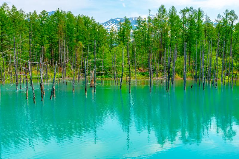 蓝色池塘(Aoiike)有树的反射的在夏天,在Shirogane Onsen附近位于美瑛町镇 库存照片