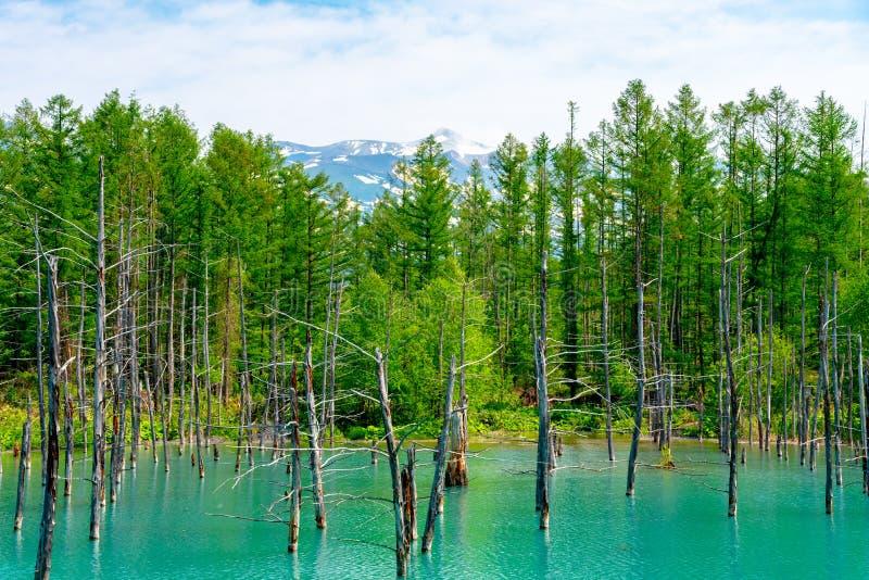 蓝色池塘(Aoiike)有树的反射的在夏天,在Shirogane Onsen附近位于美瑛町镇 免版税库存图片