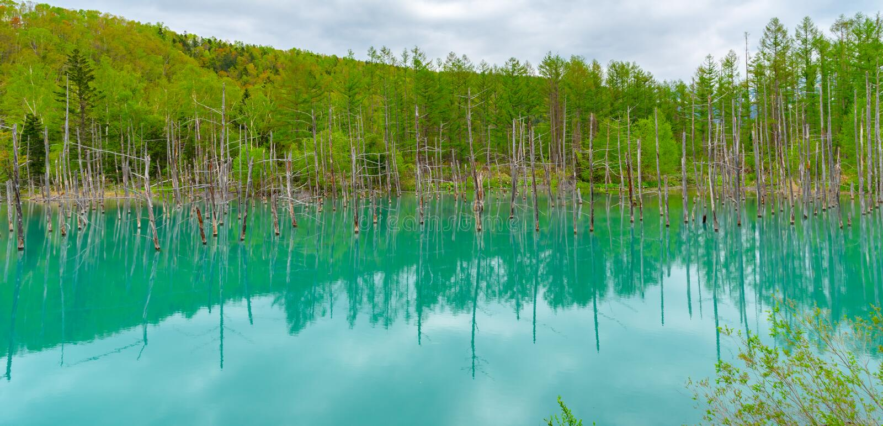 蓝色池塘(Aoiike)有树的反射的在夏天,在Shirogane Onsen附近位于美瑛町镇 库存图片