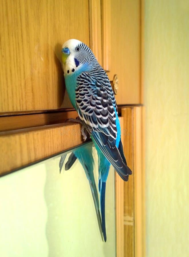 蓝色波浪鹦鹉坐内阁 免版税库存图片