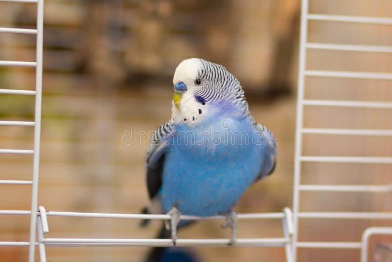 蓝色波浪鹦鹉坐在笼子的出口 免版税库存照片