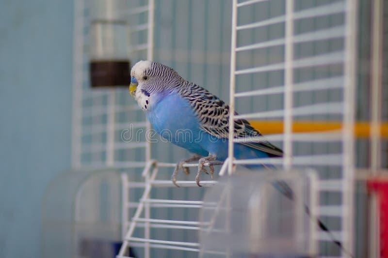 蓝色波浪鹦鹉坐在笼子的出口 库存照片
