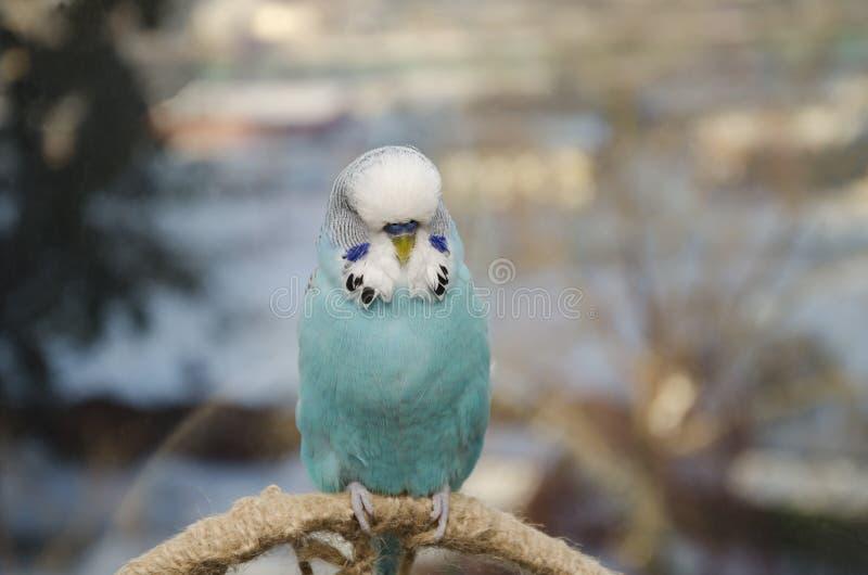 蓝色波浪鹦鹉 库存图片