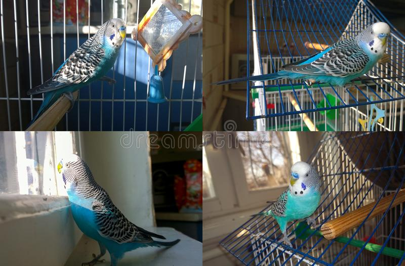 蓝色波浪鹦鹉 免版税图库摄影
