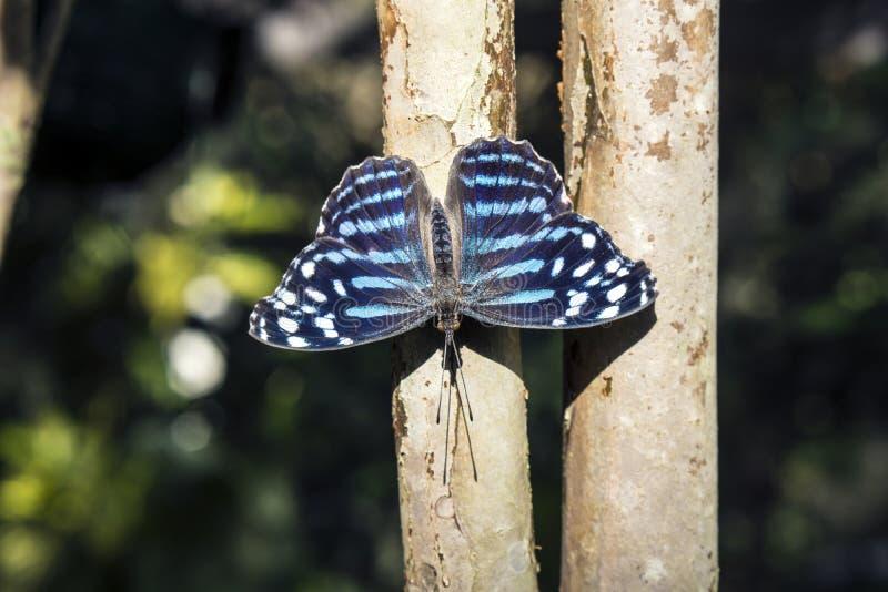 蓝色波浪蝴蝶 库存照片