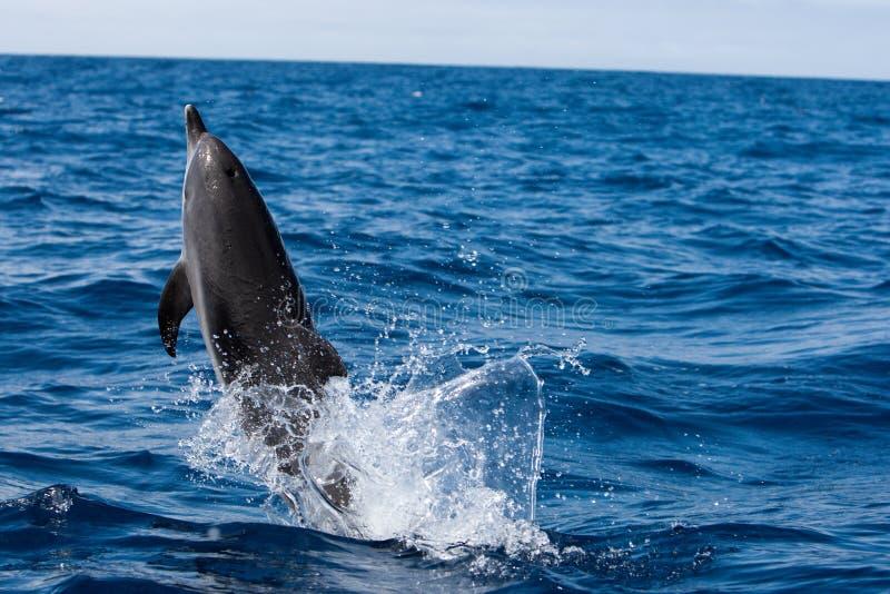 蓝色海豚海洋使用 免版税库存照片
