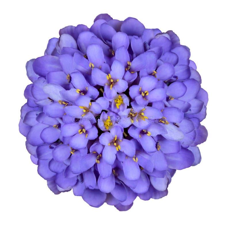 蓝色深花屈曲花属植物查出的白色 库存照片
