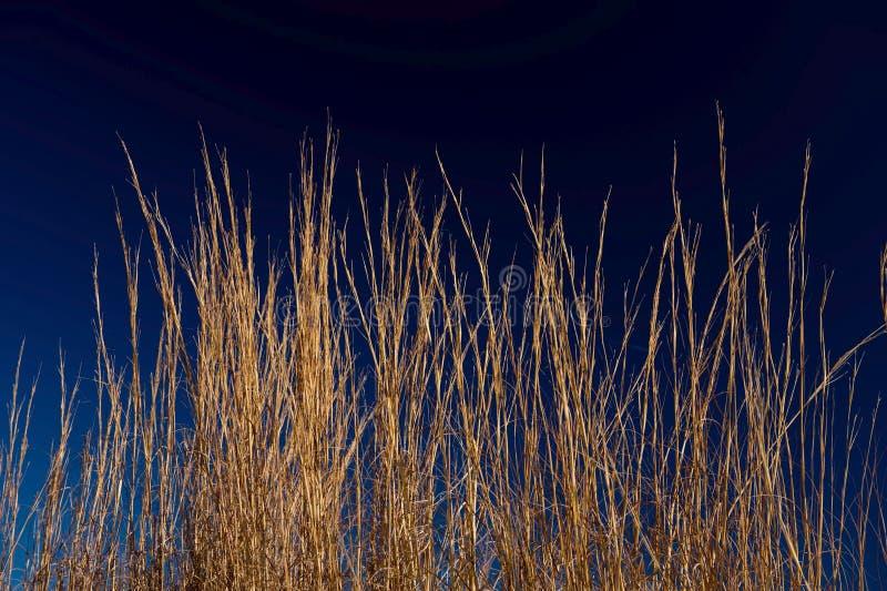 蓝色深金黄草天空麦子 免版税库存图片
