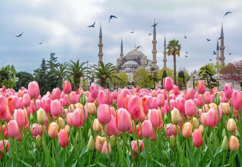 蓝色清真寺,与桃红色郁金香的Sultanahmet Camii,伊斯坦布尔,土耳其 免版税库存图片