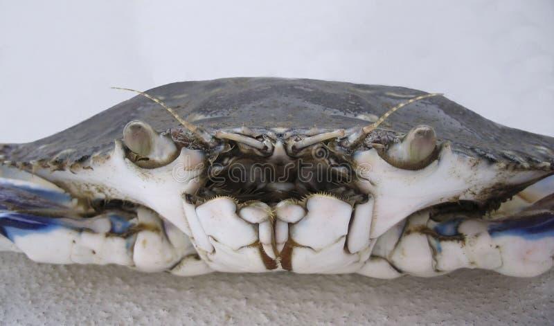 蓝色游泳者螃蟹非常紧密  库存照片