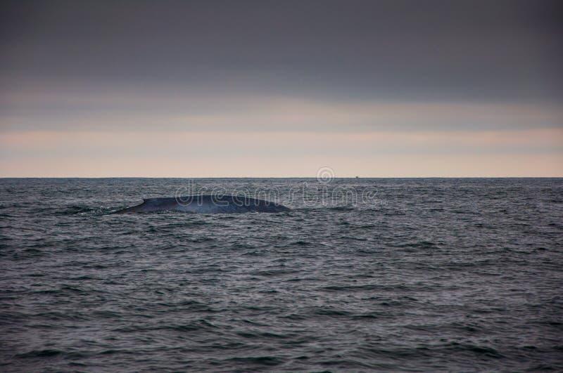 蓝色游泳鲸鱼 免版税库存照片
