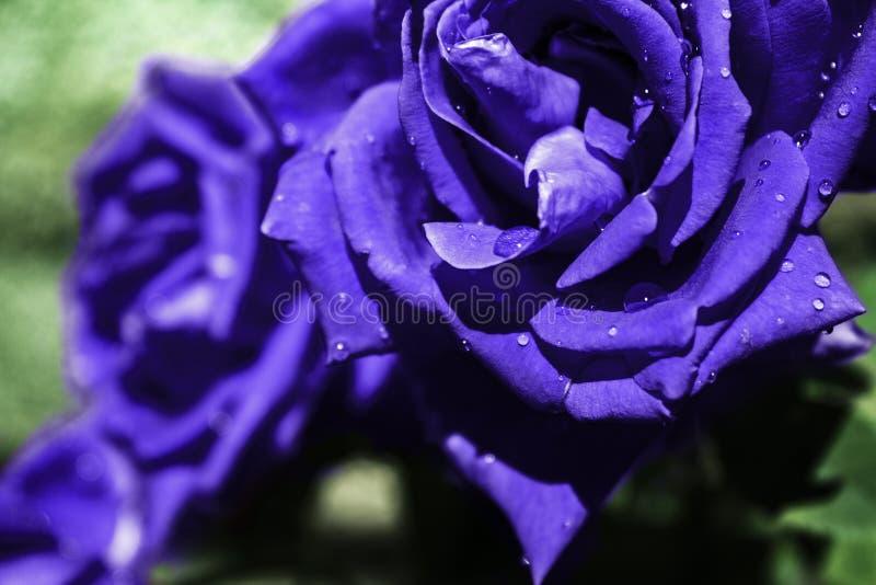 蓝色湿玫瑰在庭院里 库存照片