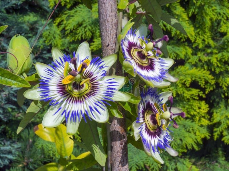 蓝色激情花(西番莲caerulea) 免版税库存图片