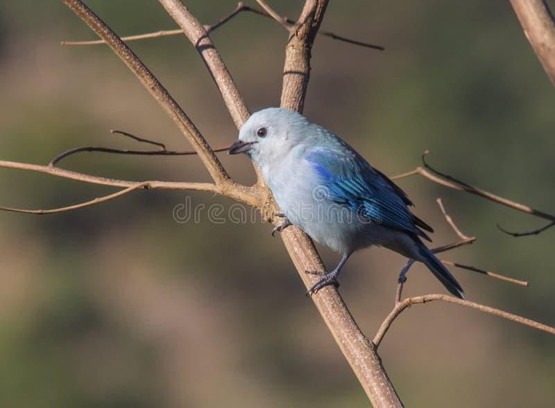 蓝色灰色唐纳雀 库存图片