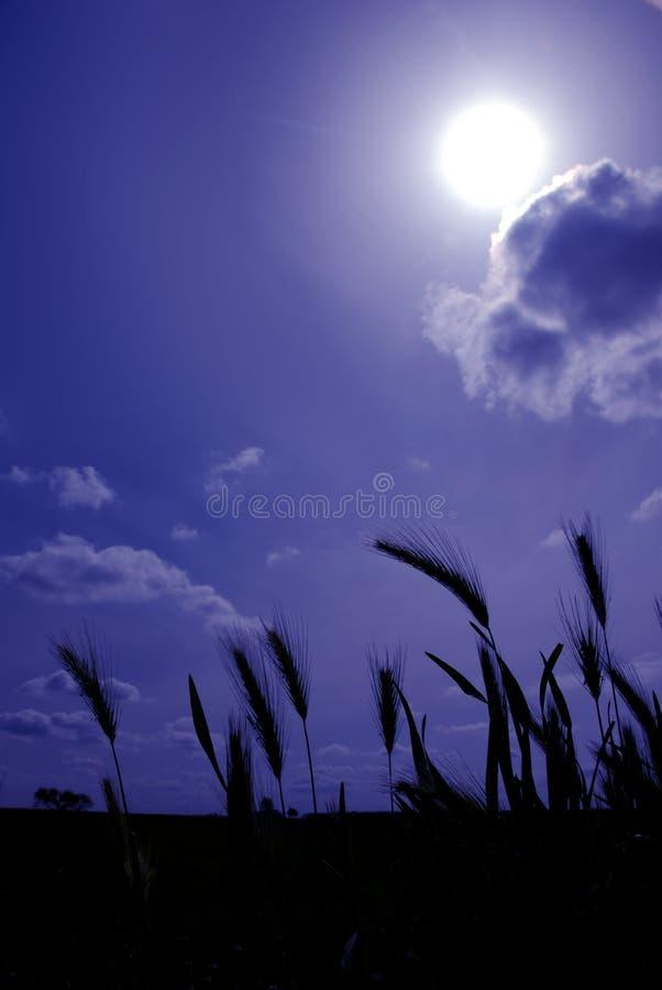 蓝色燕麦播种通配 库存照片