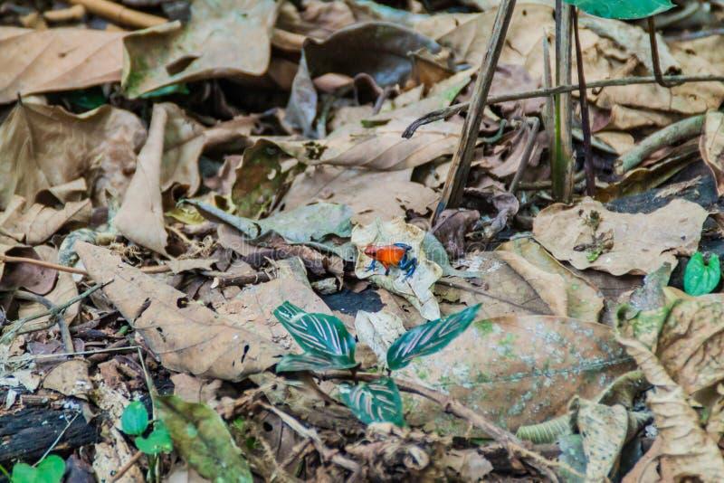 蓝色牛仔裤颜色变体草莓毒物箭青蛙Oophaga pumilio,科斯塔Ri 库存图片