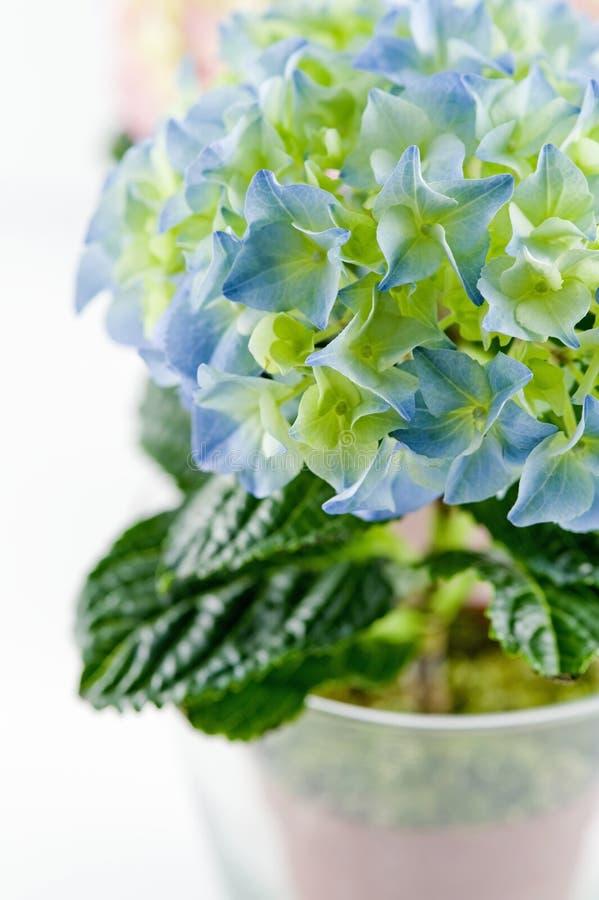 蓝色特写镜头玻璃八仙花属罐 库存照片