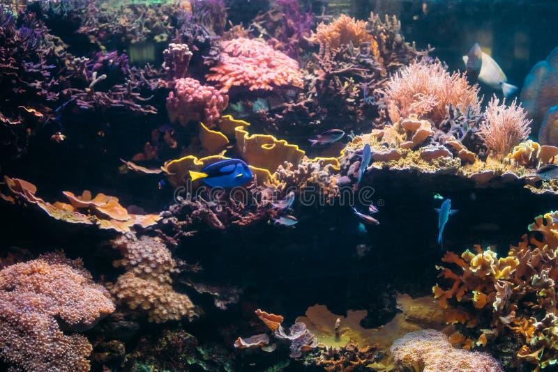 蓝色特性鱼Paracanthurus Hepatus和Chromis Viridis游泳 图库摄影