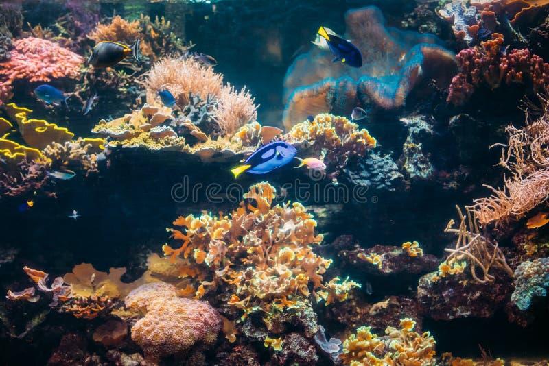 蓝色特性鱼Paracanthurus Hepatus和Chromis Viridis Swimmin 库存图片