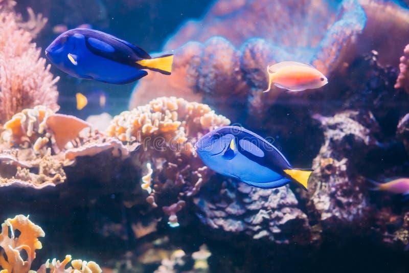 蓝色特性鱼paracanthurus hepatus游泳在水中 普遍 库存照片