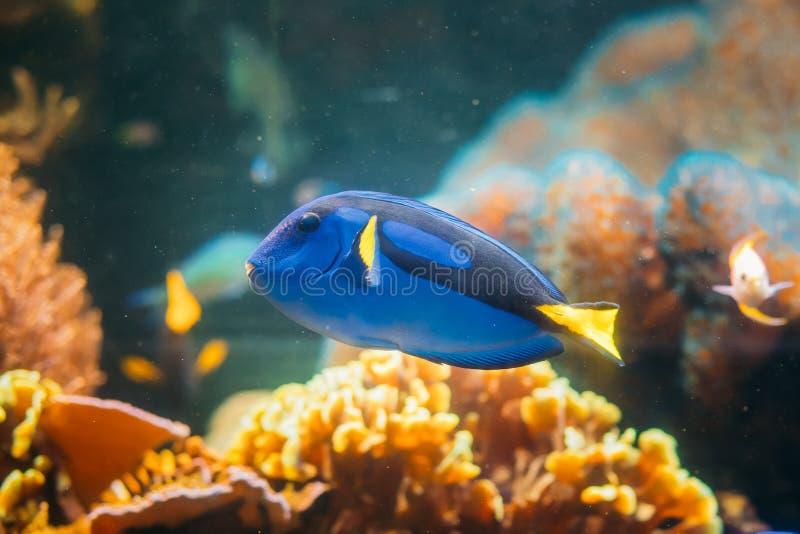蓝色特性鱼paracanthurus hepatus游泳在水中 普遍 免版税库存照片