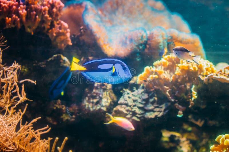蓝色特性鱼paracanthurus hepatus游泳在水中 普遍 图库摄影