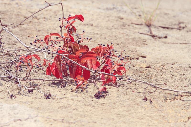 蓝色狂放的果子和爬行物红色叶子在沙子的 库存图片