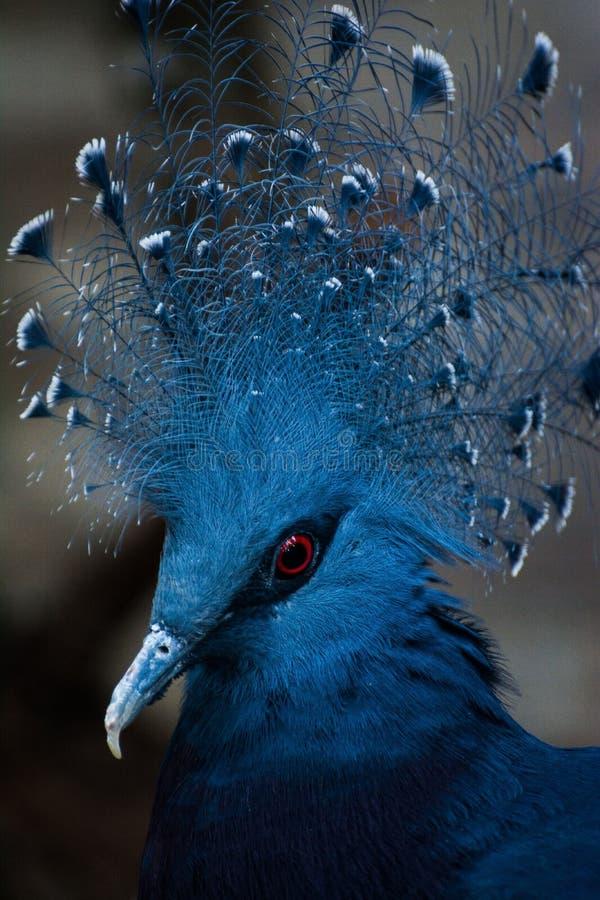 蓝色独特的罕见鸟胆怯技巧红色圈子眼睛的对比 图库摄影