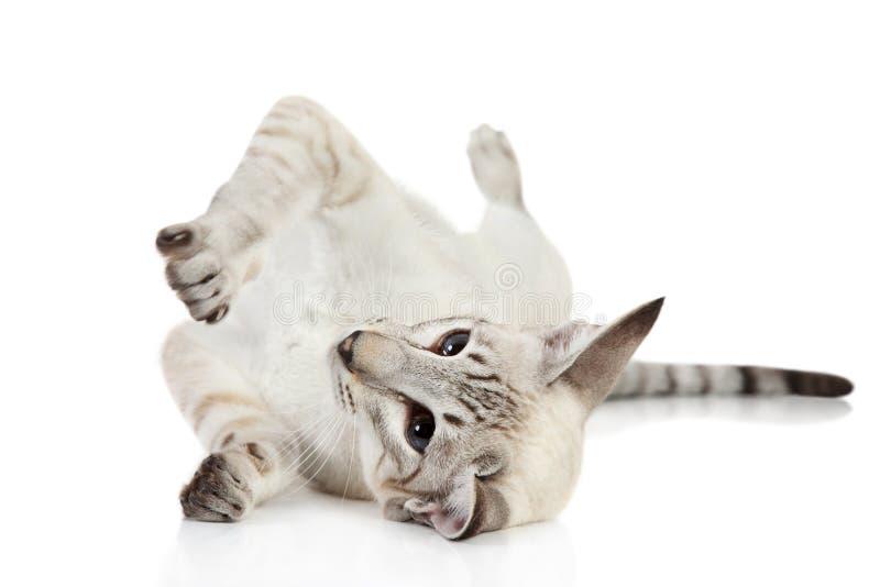 蓝色猫东方人点 免版税库存照片