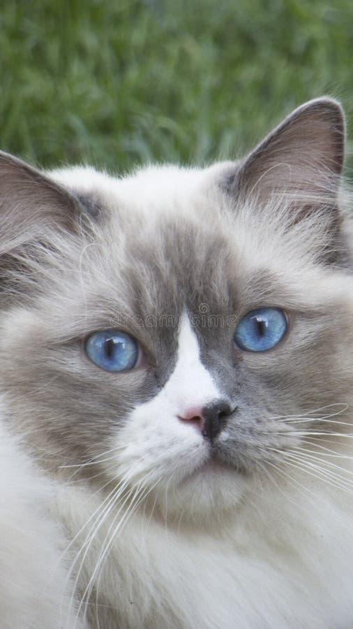 蓝色猫注视ragdoll 库存照片