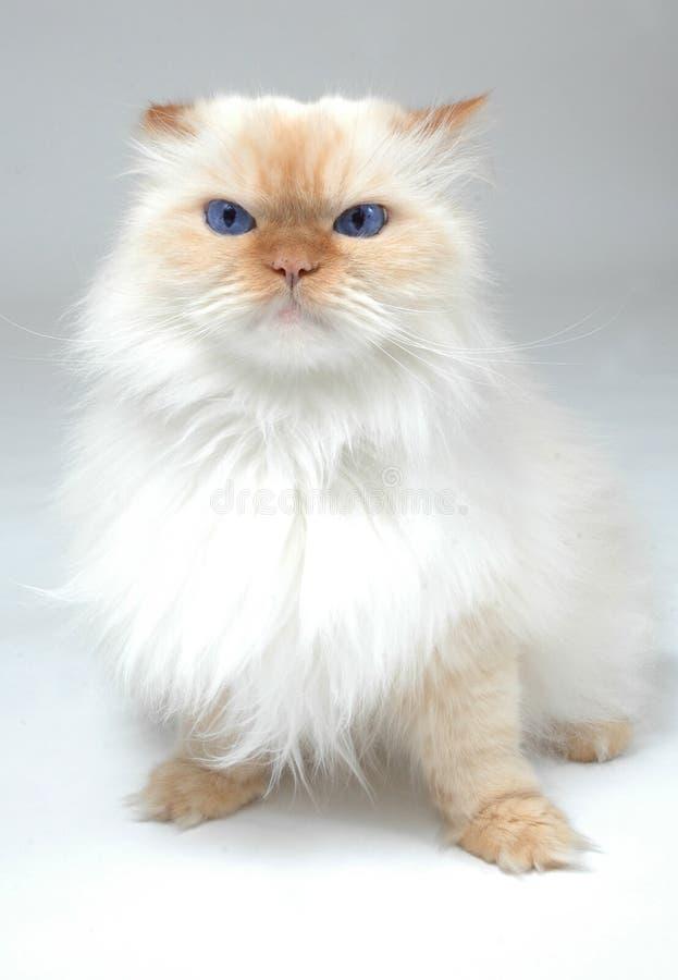 蓝色猫被注视的白色 图库摄影