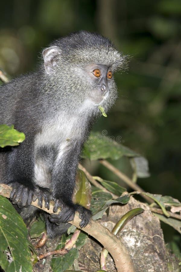 蓝色猴子年轻人 库存图片