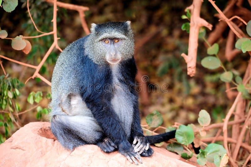 蓝色猴子 免版税库存照片