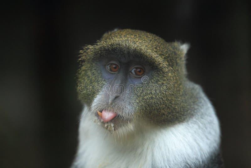 蓝色猴子 免版税图库摄影