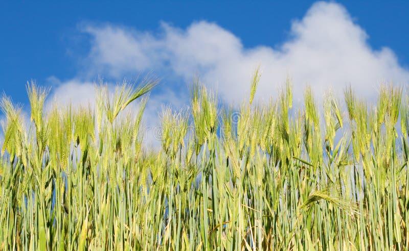 蓝色玉米田天空 库存照片