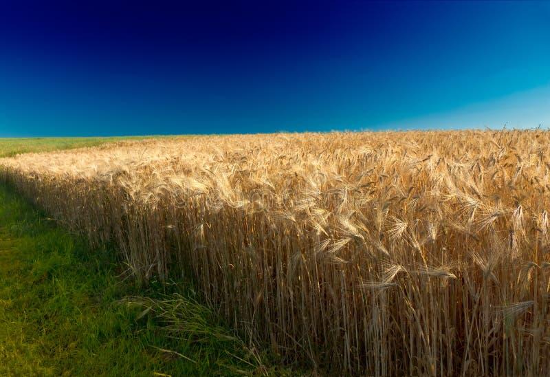 蓝色玉米田深germa pfalz天空 库存图片