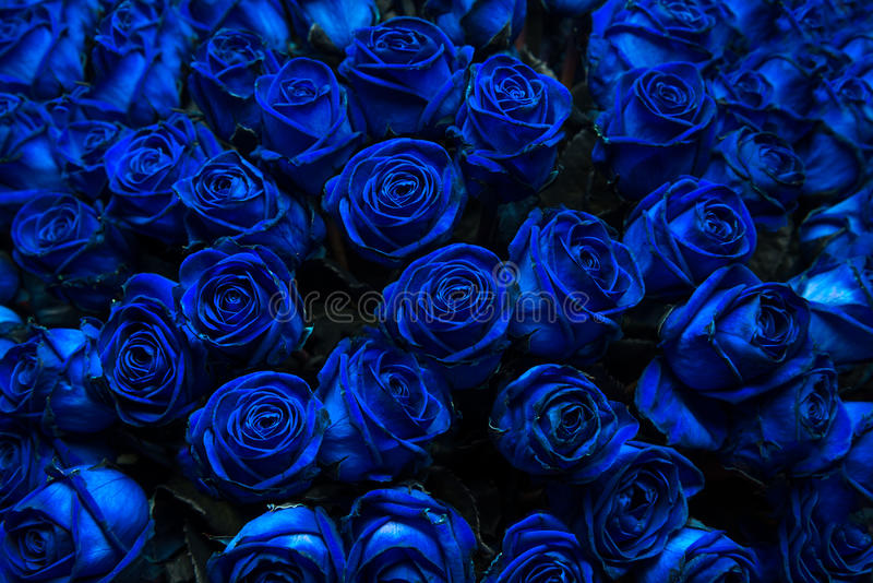 蓝色玫瑰 免版税库存照片