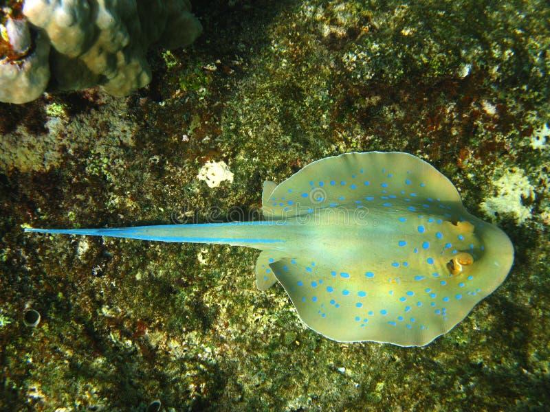 蓝色珊瑚礁被察觉的黄貂鱼 免版税库存照片