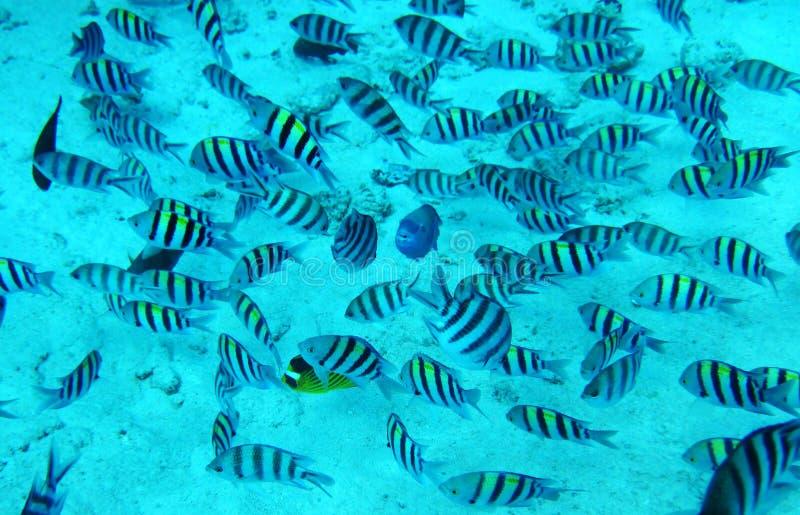 蓝色珊瑚鱼编组红海水 库存照片