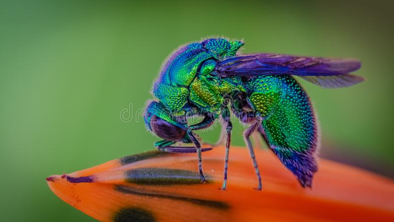 蓝色瓶飞行昆虫动物 库存照片